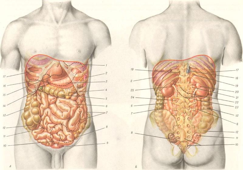 Картинка органы брюшной полости человека