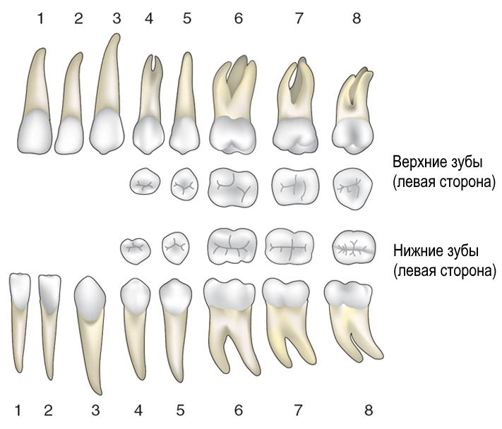 форма корней нижних зубов человека фото для всех видов